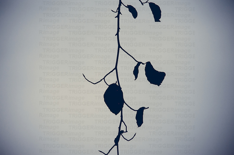 Hanging single branch with a few leaves left, during winter in Canada.