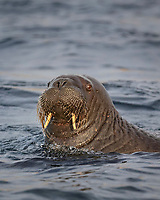 Atlantic walrus, Odobenus rosmarus rosmarus swimming, Svalbard, Norway, Europe, Arctic Ocean