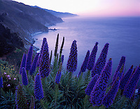 Monterey County, CA<br /> Pride of Maderia (Echium fastuosum) blooming on the headlands above the Big Sur coast line