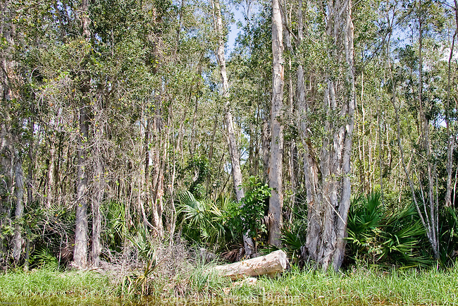 The melaleuca trees are considered a pest in southern Florida and are being kept in check with biological control insects.