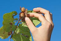 Gewöhnliche Hasel, Ernte, reife Nüsse werden vom Strauch gepflückt, Haselnuß, Haselnuss, Früchte, Nuß, Nuss, Nüsse am Busch, Corylus avellana, Cob, Hazel, Coudrier, Noisetier commun