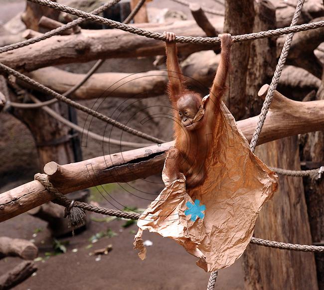 Pongoland Zoo Leipzig - MPI - im Bild: Oran-Utan - Baby Jungtier Suaq.  Foto: Norman Rembarz ..