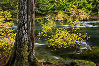 McKenzie River and forest, Oregon