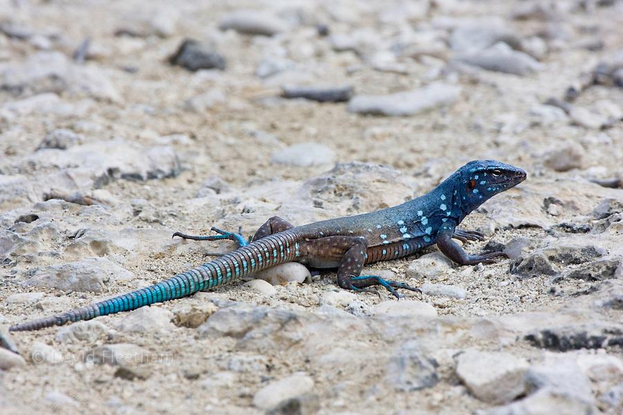 The blue whiptail lizard, Cnemidophorus murinus ruthveni, is endemic to Bonaire, Washington Slagbaai National Park, Bonaire, Netherlands Antilles, Caribbean.