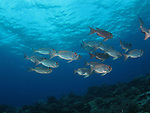 Ulong Channel, Palau -- Small school of Crescent-tail Bigeye (in their pale phase).
