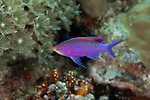 Purple anthias (Pseudanthias tuka)