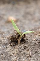 Emerging sugar beet plant, 6th April  - Lincolnshire