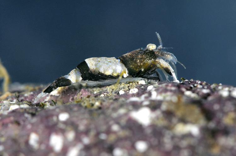 Philocheras fasciatus