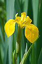 Yellow flag iris (Iris pseudacorus), early May.