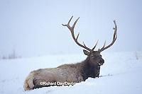 01980-01417 Elk (Cervus elphus) in snowstorm Yellowstone NP   WY