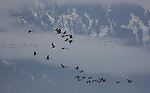 Canada Geese in flight against a backdrop of snowy mountains in the winter time