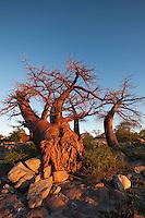 Fallen over stubby Baobab