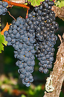 Bunches of ripe grapes. Merlot. Chateau Paloumey, Haut Medoc, Bordeaux, France.