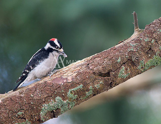 A downy woodpecker goes to work at the Reifel Bird Sanctuary.