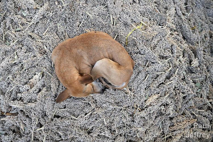 A dog sleeps on a pile of sorghum just harvested in Santa Catarina Masahuat, El Salvador.