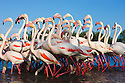 Greater Flamingos (Phoenicopterus roseus) walking in lagoon, Camargue, France