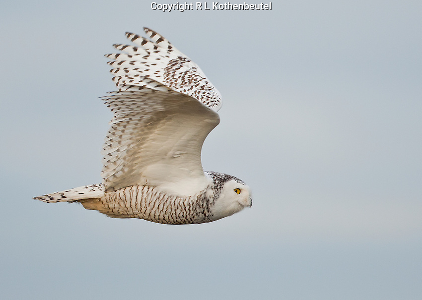 A snowy owl flies against a blue sky as it cruises the tidelands of Boundary Bay.<br />