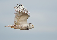 A snowy owl flies against a blue sky as it cruises the tidelands of Boundary Bay.<br /> Near Ladner, British Columbia, Canada<br /> 1/10/2012