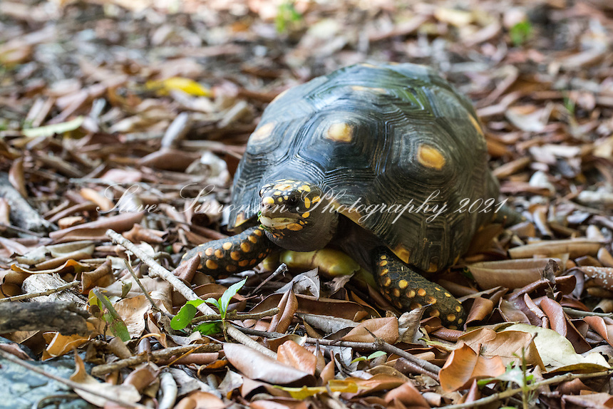 Red-footed tortoises are popular pet tortoises from northern South America. They are medium-sized tortoises that generally average 30 centimetres as adults, but can reach over 40 cm. <br />