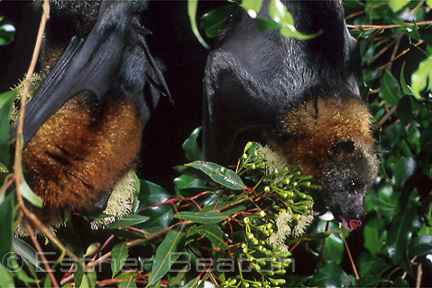 Grey-headed Flying Foxes (Pteropus poliocephalus)feeding on eucalypt blossoms. Sydney, NSW