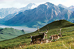 Caribou, Arctic National Wildlife Refuge, Alaska