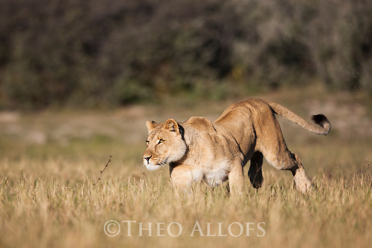 Botswana, Kalahari, private game reserve, lioness running in grass, captive
