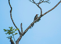 Black-cheeked Woodpecker, Melanerpes pucherani, perched on a branch in Tortuguero National Park, Costa Rica