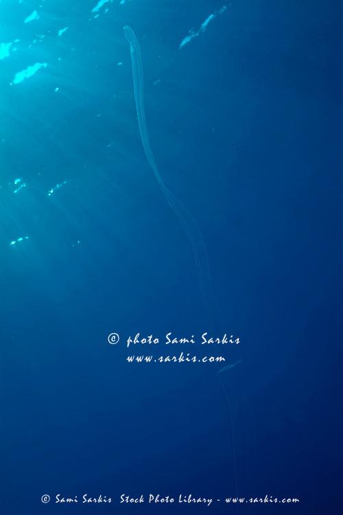 Transparent Girdle of Venus (Cestus Veneris) is barely visible in the deep blue waters of the Mediterranean Sea, France.