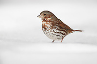 Fox Sparrow (Passerella iliaca iliaca), Red subspecies, a winter migrant to New York City's Central Park foraging in the snow.