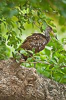 Limpkin resting in tree, Belize
