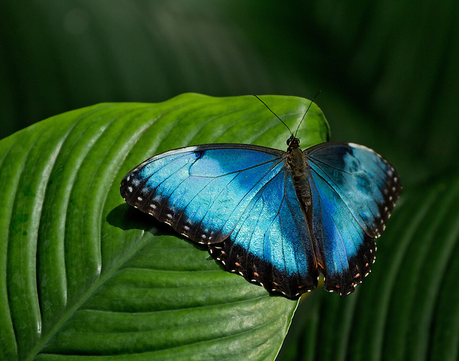 A Blue Morpho Buterfly perches on a leaf with wings fully spread, showing off its bright blue coloring with its head and antennae erect.