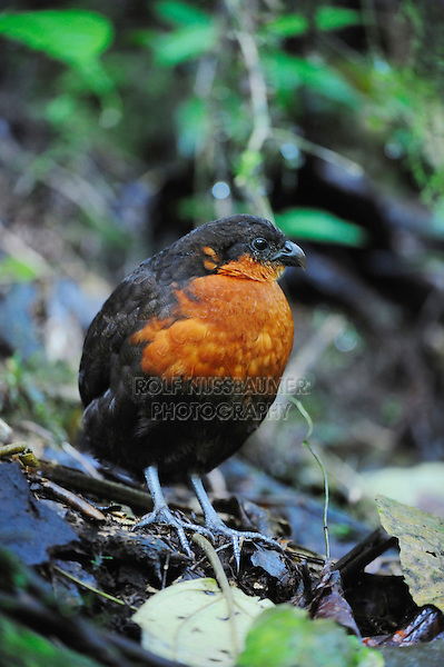 Dark-backed Wood-quail (Odontophorus melanonotus), adult,Mindo, Ecuador, Andes, South America