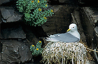 Black-legged Kittiwake, Rissa tridactyla, adult on nest, Ekkeroy, Norway, Europe