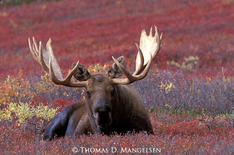 A bull moose laying down in the brush in Denali National Park, Alaska.
