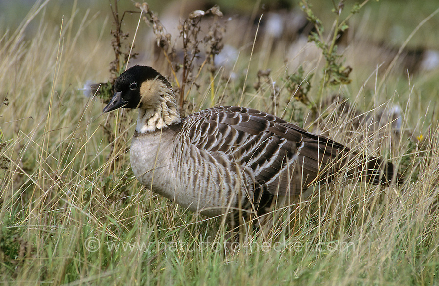 Hawaiigans, Hawaii-Gans, Nene, Branta sandvicensis, Hawaiian goose, Hawaiian-goose, nene