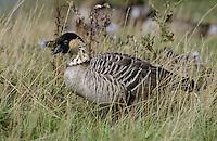 Hawaiigans, Hawaii-Gans, Nene, Branta sandvicensis, Hawaiian goose, Hawaiian-goose, nene