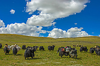 "Tibetan nomads taken a rest with their Yaks on the Tibetan Plateau, the average elevation exceeding 4,500 metres (14,800 ft), the Tibetan Plateau is sometimes called ""the Roof of the World"" and is the world's highest and largest plateau. China<br />