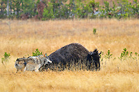 Wild wolf trying to take down a bison cow.  Yellowstone, fall.   Eventually, after two days of constantly pestering this bison cow (she seemed to be injured) this wolf was able to kill it in the late evening of the second day.