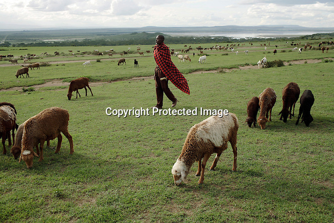 A Maasai man walks with his sheep. In the background Lake Elementeita and Soysambu farm. Photo: Per-Anders Pettersson/Getty Images