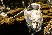 A brown pelican sits on a moss-covered rock at Playa Conchas Chinas in the state of Jalisco, Mexico, August 14, 2006.