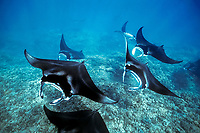 reef manta rays, Manta alfredi, swimming over coral reef - possibly a courtship behavior, Maui, Hawaii, USA, Pacific Ocean