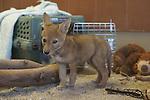 Male coyote pup,  rehabilitation,  The living Desert