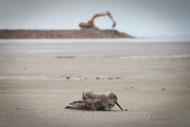 A long distance migrant Dunlin lies dead behind the Saemangeum seawall, the largest land reclamation project in the world. Once the most important migratory stopover site in the Yellow Sea, the now stagnant and polluted mudflats kill thousands of birds. South Korea. October.