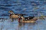 Male and Female Wood Ducks
