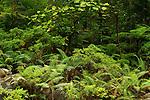 Ferns in lowland rainforest, Tawau Hills Park, Sabah, Borneo, Malaysia