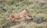 We saw a number of lions in Ndutu.