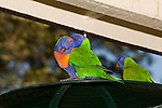 Pair-bonding in Rainbow Lorikeets.  //  Rainbow Lorikeet - Psittacidae: Trichoglossus haematodus. Length to 30cm; wingspan to 45cm; weight to 150g; Found in northern and eastern Australia from the Kimberley Region in northern Western Australia (Red-collared Lorikeet, T. h. rubritorquis) to eastern South Australia. Occurs in forests, woodlands, heath, and rural and urban areas. Aviary-escapees are established in many towns and cities. Widespread with many subpsecies - often with a different name - from eastern Indonesia (Maluku=Molucca Islands) through New Guinea east to Vanuatu and New Caledonia in the south-west Pacific, north through Manus and the Admiralty Islands to the Philippine Islands (this may be a separate sepcies - the taxonomy of the group is yet to be finalised) Frequently seen in pairs, with pair-bonding behaviour such as preening, playing  and mirror displays maintaining the link. Here the birds sit on the roof of a bird-feeding station.  //