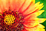 Textured photo of yellow and red flower
