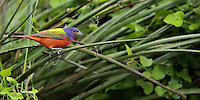 Painted Bunting male moving in/around some Hesperaloe & wild thorny vines.<br /> Haven't seen many this spring, they're making themselves scarce this year.