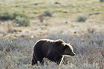 This grizzly bear sow is on the hunt for newly born elk calves in Yellowstone National Park June 4, 2011. Photo by Gus Curtis.